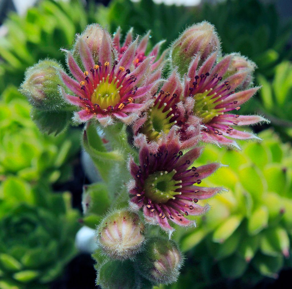 sempervivum_montanum_iii_by_scrano-dad81l1